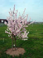 almond tree in the Phenological Garden