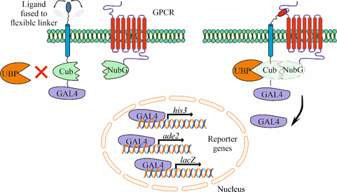 gpcrs-and-neuropeptids.text.image1